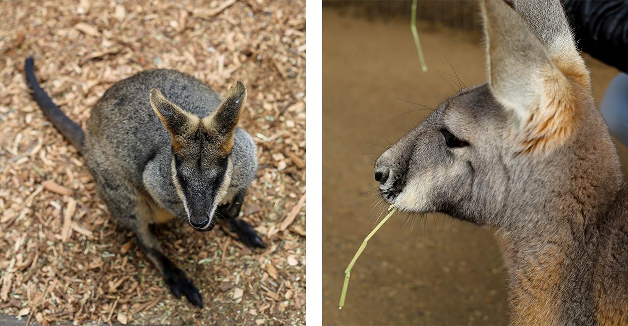 kangourous-featherdale-wildlife-park-blue-mountains-voyage-visite-cityguide
