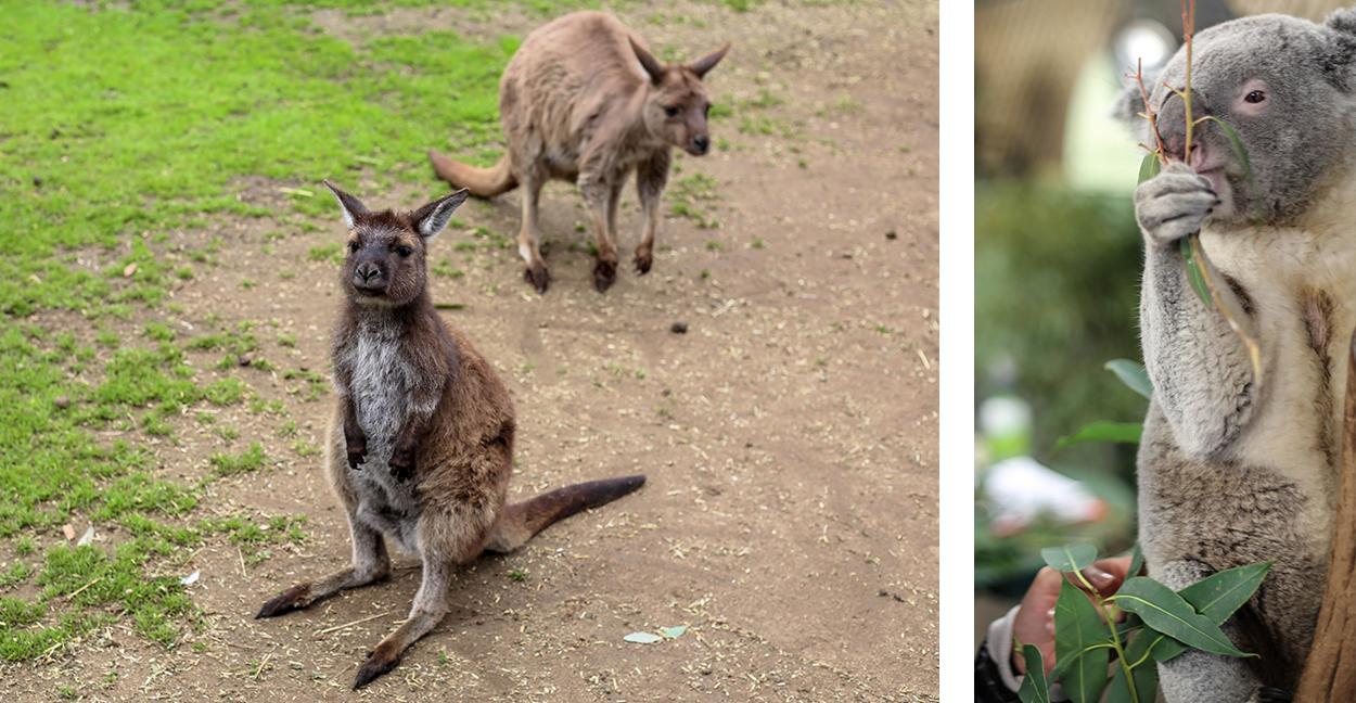 toucher-koala-kangourou-featherdale-wildlife-park-sydney-blog-voyage-visite-cityguide